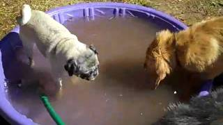 Pug And Golden Retriever Puppy In The Kiddie Pool