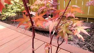 Japanese Maple Acer Tree Disease Problem - (Part 2 of 2)