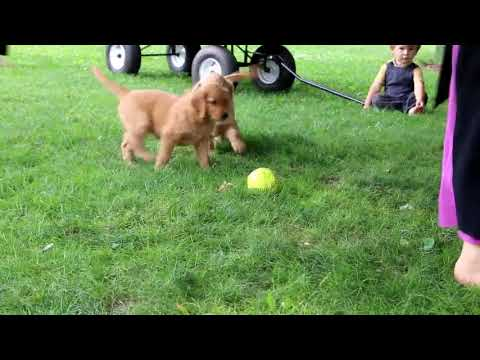 Golden Retriever Puppies For Sale Raymond Smucker