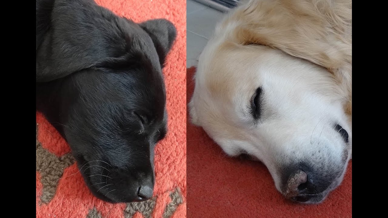 2 Months Old Black Labrador Puppy Plays With Adult Golden Retriever