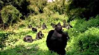 THE GORILLA KING   Discovery Animals Nature documentary