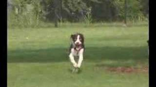 Miller At The Park - A Rescued English Springer Spaniel
