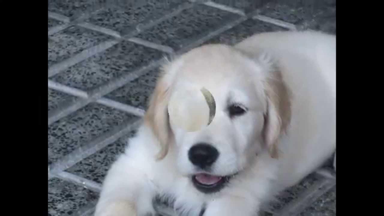 Cachorros golden retriever de mes y medio