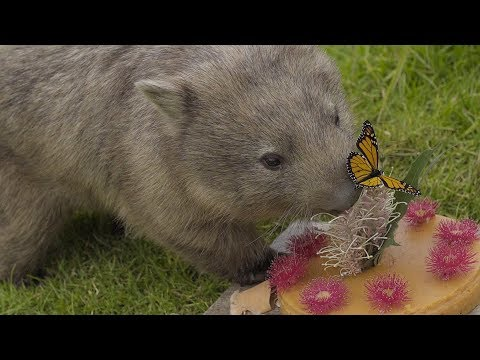 Wombat's Birthday Party crashed by Butterfly