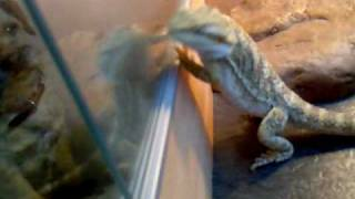 Bearded Dragon And Border Terrier