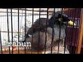 Ocehan Santai Jalak Nias Betina Cocok Untuk Terapi Dan Pancingan Terbaru Oktober   Mp3 - Mp4 Download