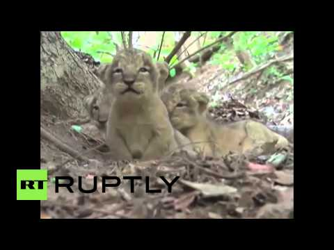 India: Endangered Asiatic lions give birth after flood tragedy