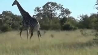 Żyrafa na sawannie - świat zwierząt Afryki ,, Safari