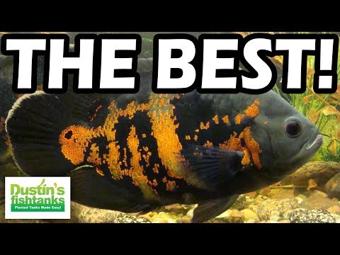 Aquarium Fish TOP 5 BEST FISH PERSONALITIES