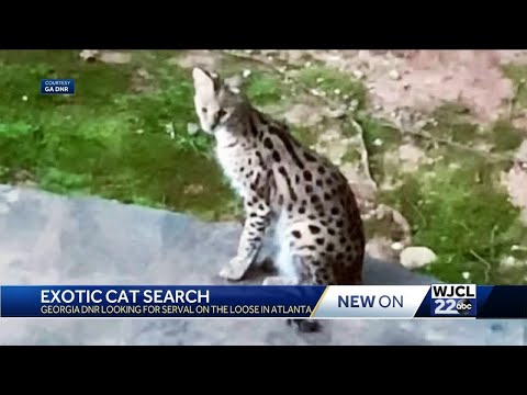 Exotic cat on the loose in Georgia