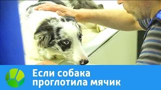 Если собака проглотила мячик | Живая Планета