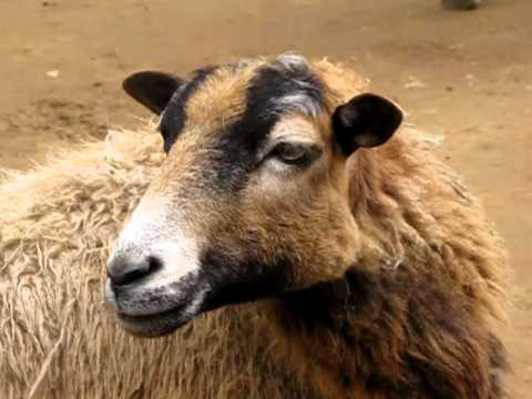 Sheep Sound Effects Royalty Free Sheep Sounds