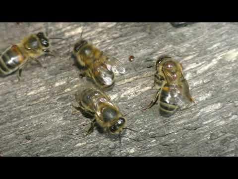 Вопрос: Какая троектория полета пчелы?