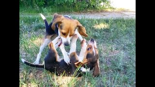 Miniature Tiny Pocket Beagles Akc Puppies Cute Video For Sale Buy Purebred