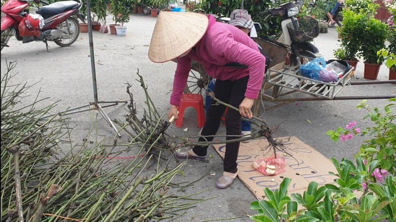 SH.2788.Ôi rẻ thế có 15K một khóm Hoa Hồng bán dọn vườn đây các Bác. Chợ Sơn Tây. Hà Nội