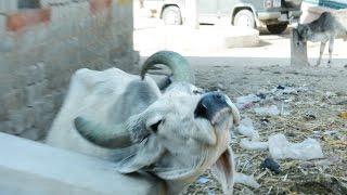 Holy Indian Street Cow Itching.Bhinmal.Cow In India.गाय,गौ माता.भीनमाल.Gau Mata.gai.gaushala.Goshala