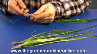 Preparing a Vallisneria for Planting in an Aquarium