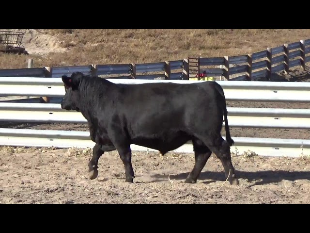 Connealy Angus Lot 76