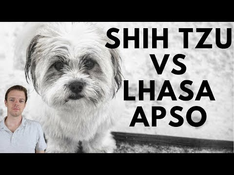Shih Tzu vs Lhasa Apso difference