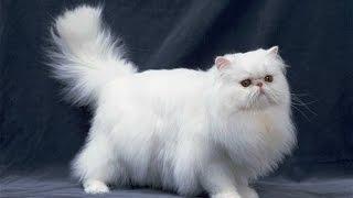 Персидская кошка  описание породы