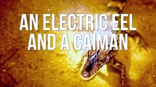 An Electric Eel And A Caiman