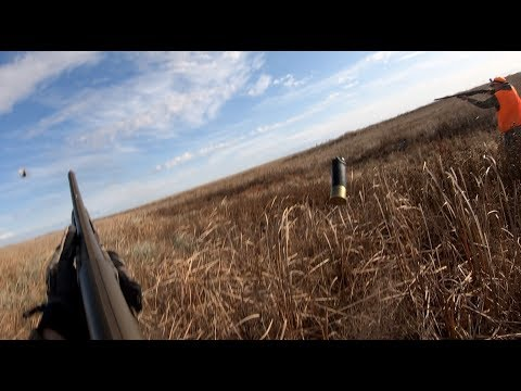 North Dakota Pheasant Hunt (Birds Everywhere)