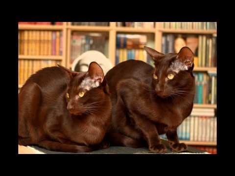 Гавана браун (Havana brown cat) породы кошек( Slide show)!