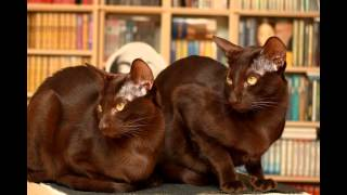 Гавана браун (Havana brown cat) породы кошек( Slide show)!