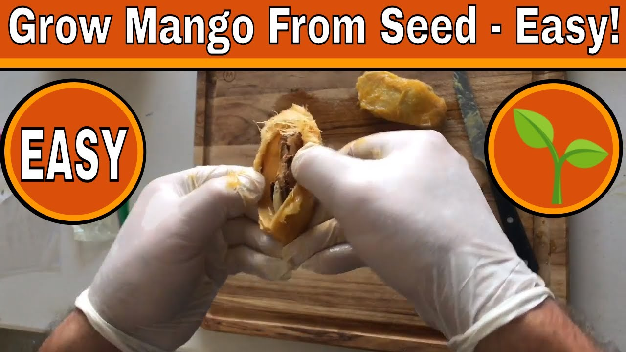 Come Piantare Il Mango how to plant a mango seed (with pictures) - wikihow