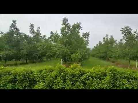 """Zasad oraha sorte Čendler """"Azienda Agricola San Martino"""", Italija"""