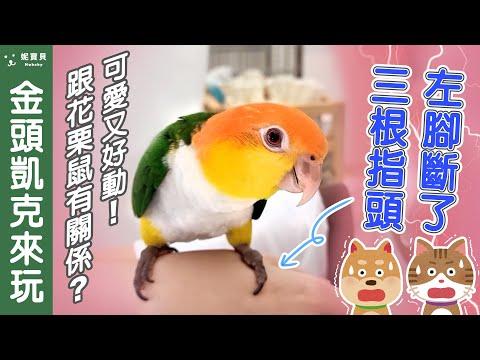 小鸚鵡來妮寶貝玩|少3支腳指的金頭凱克|搭肩膀電梯 摸摸 超好玩|寵物友善指甲店