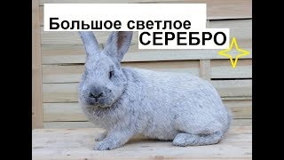 Кролики серебро. Пытаюсь приспособиться.