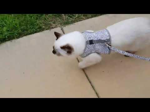 Ragdolls walking with leashes.