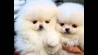 Potty Train Pomeranian In 6 Days