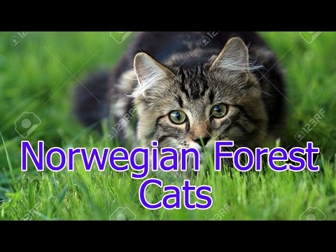 Norwegian Forest ★ Cats AnyFuns Channel
