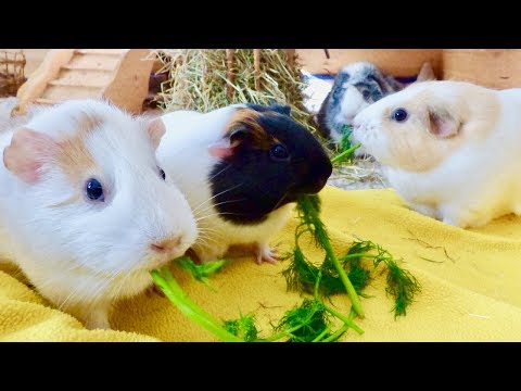 Cage Cleaning, Guinea Pig Sounds & Food Fight