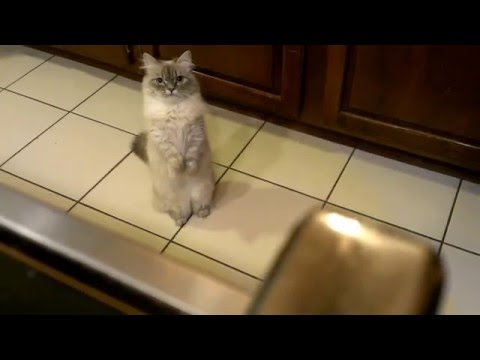 Pumkin Munchkin Cat Kitten Begging For Treats
