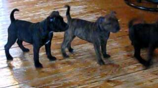 Gladius Kennels' Staffordshire Bull Terrier Puppies Dont Like The Birthday Card