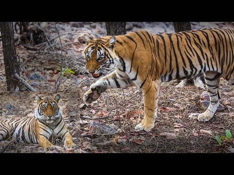 Tigers Of Ranthambore National Park Zone 6 - 2019 Updated