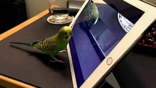 How Kiwi the Talking Budgie learns from Siri