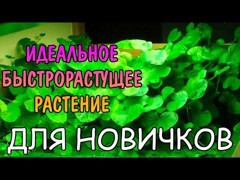ГИДРОКОТИЛА БЕЛОГОЛОВАЯ. СОДЕРЖАНИЕ И РАЗВЕДЕНИЕ. Hydrocotyle leucocephala