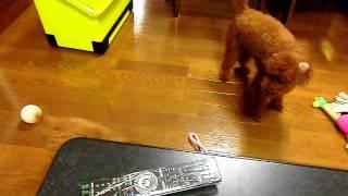 先住犬が威嚇。
