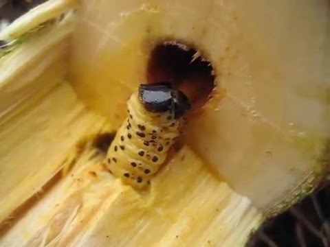 Rodilegno Giallo Larva YouTube