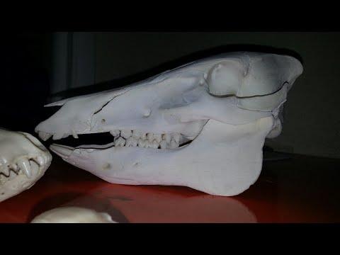 Hog European Skull Mount!!How To Clean Skulls!!{GRAPHIC}!!