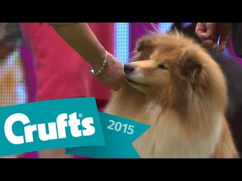 Bearded Collie wins Pastoral Group Judging   Crufts 2015