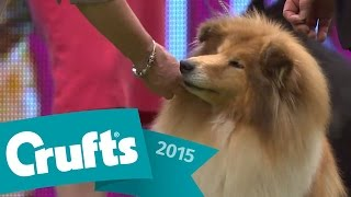 Bearded Collie wins Pastoral Group Judging | Crufts 2015