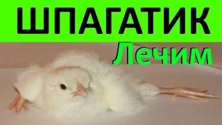 Шпагатик или Вертолетик у цыплят и перепелят / Как вылечить / Что делать(Диагноз