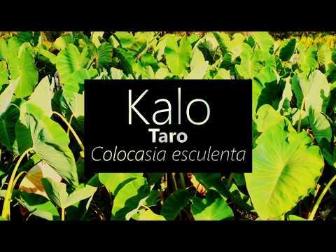 Kalo (Taro) Colocasia esculenta