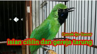 Download lagu Masteran cucak ijo gacor isian cililin dan gereja tarung MP3