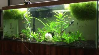 piranha in a community 75g heavily planted tank